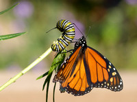 Monarch Examines its Own Kind