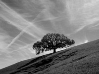 Oak Tree and Contrails