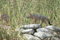 Gray Fox Kits at LBL Bldg 69