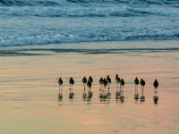 Godwits on Monterey Beach